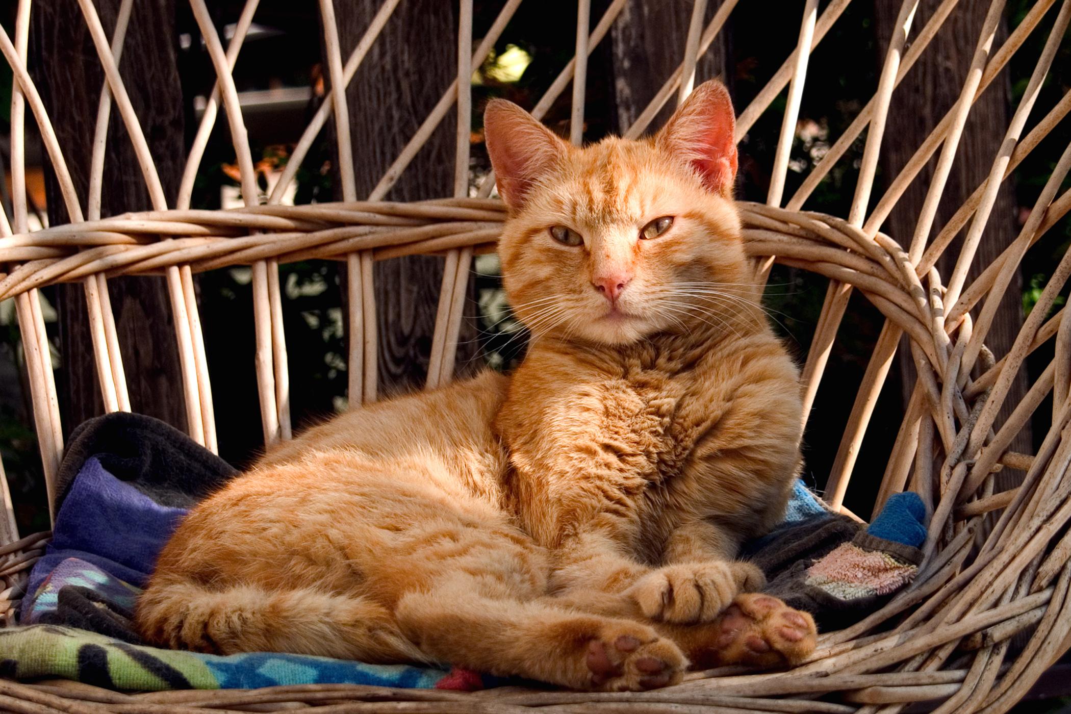 Plaque Allergy in Cats