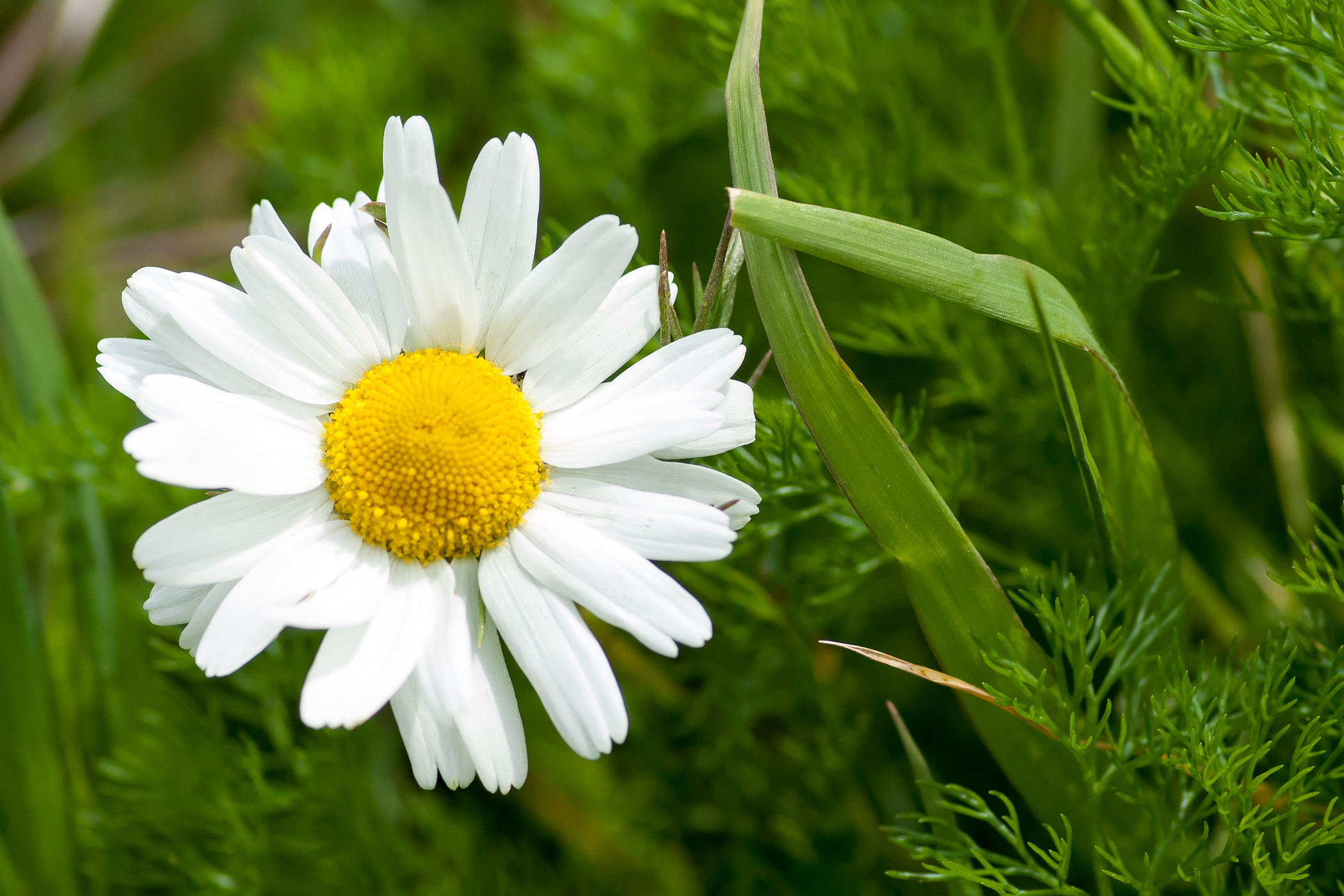Poison Daisy Poisoning in Cats