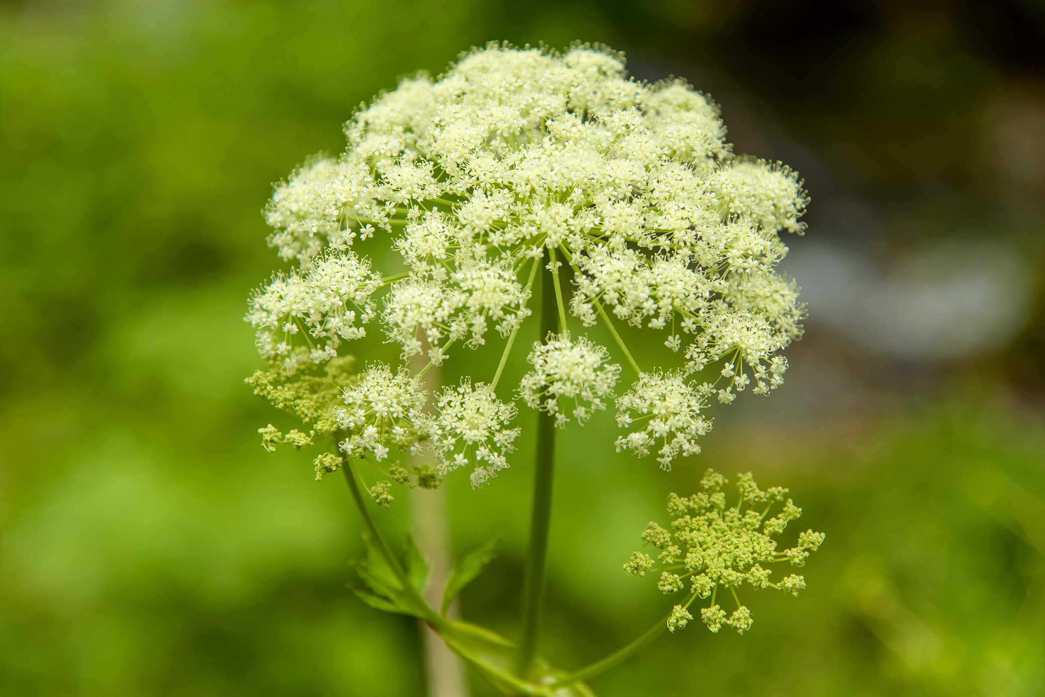 Poison Parsnip Poisoning in Cats