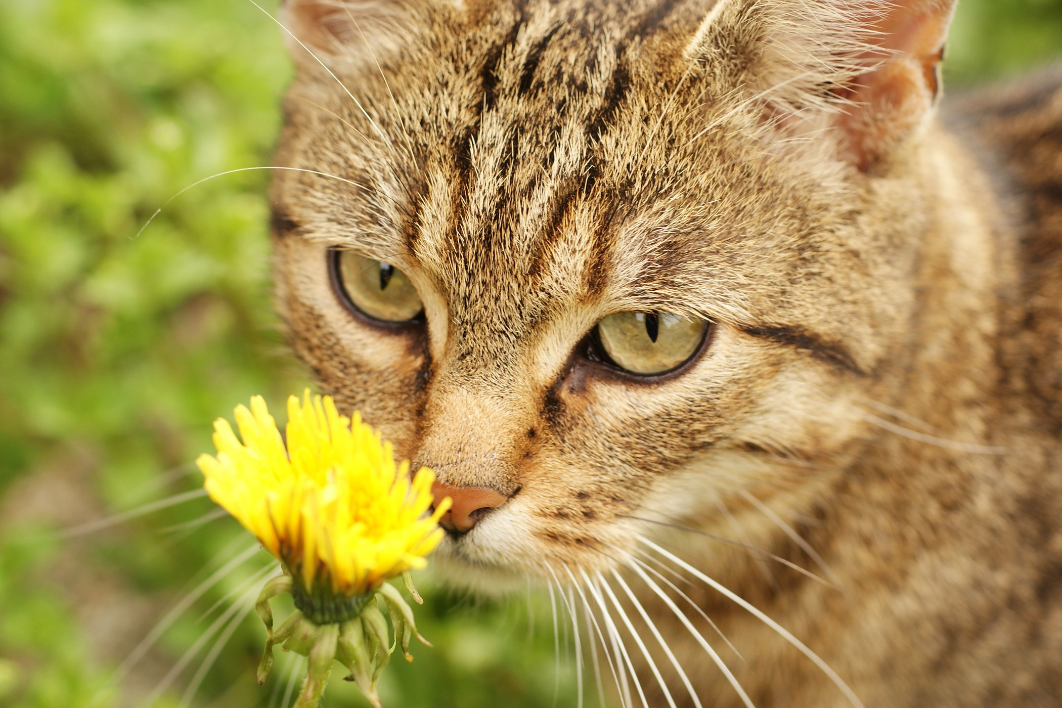Pollen Allergy in Cats
