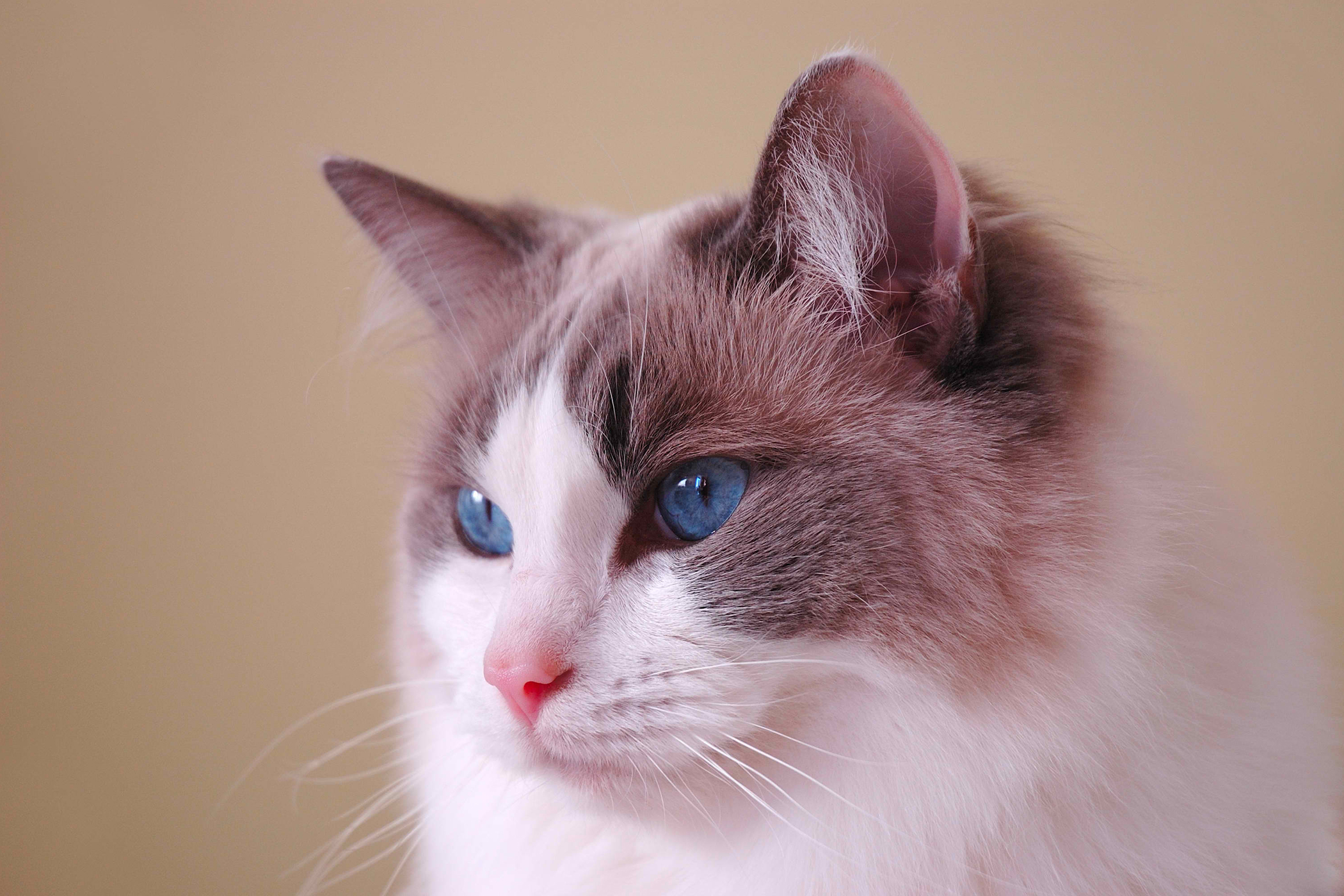 Polycystic Kidney Disease in Cats