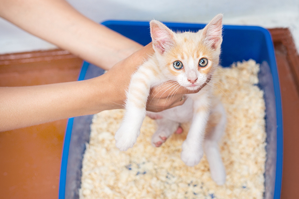 Prostate Inflammation in Cats