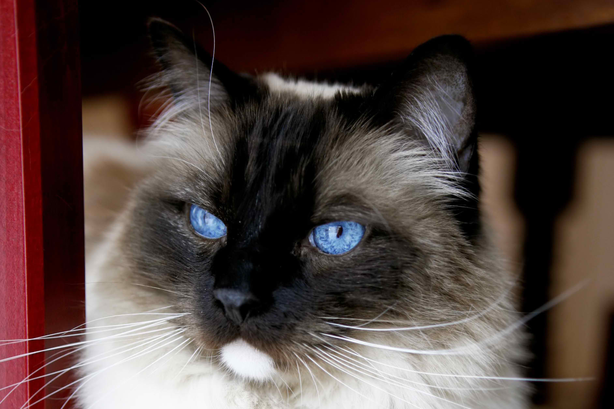 Prostatic Cysts in Cats