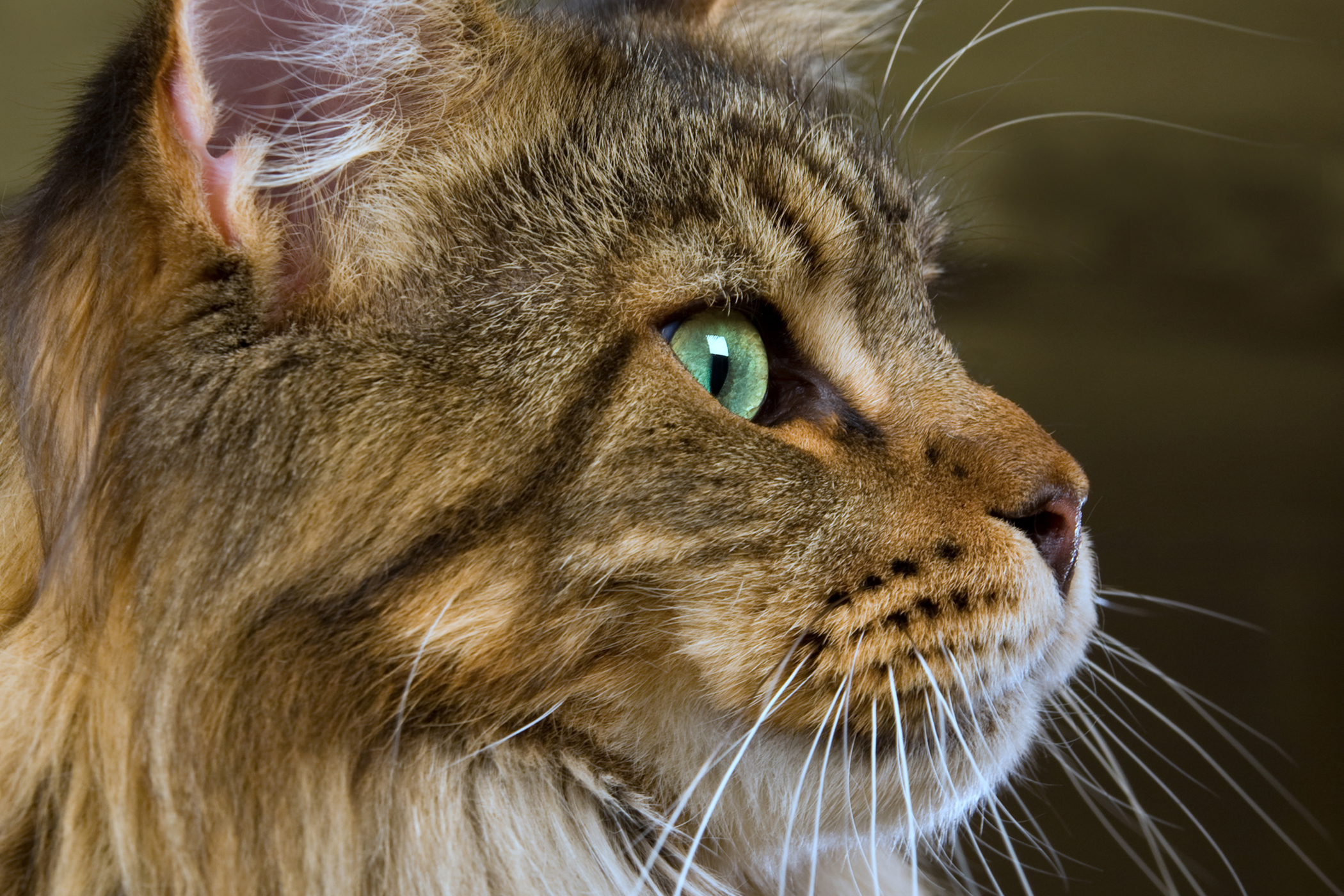 Protein Losing Nephropathy in Cats