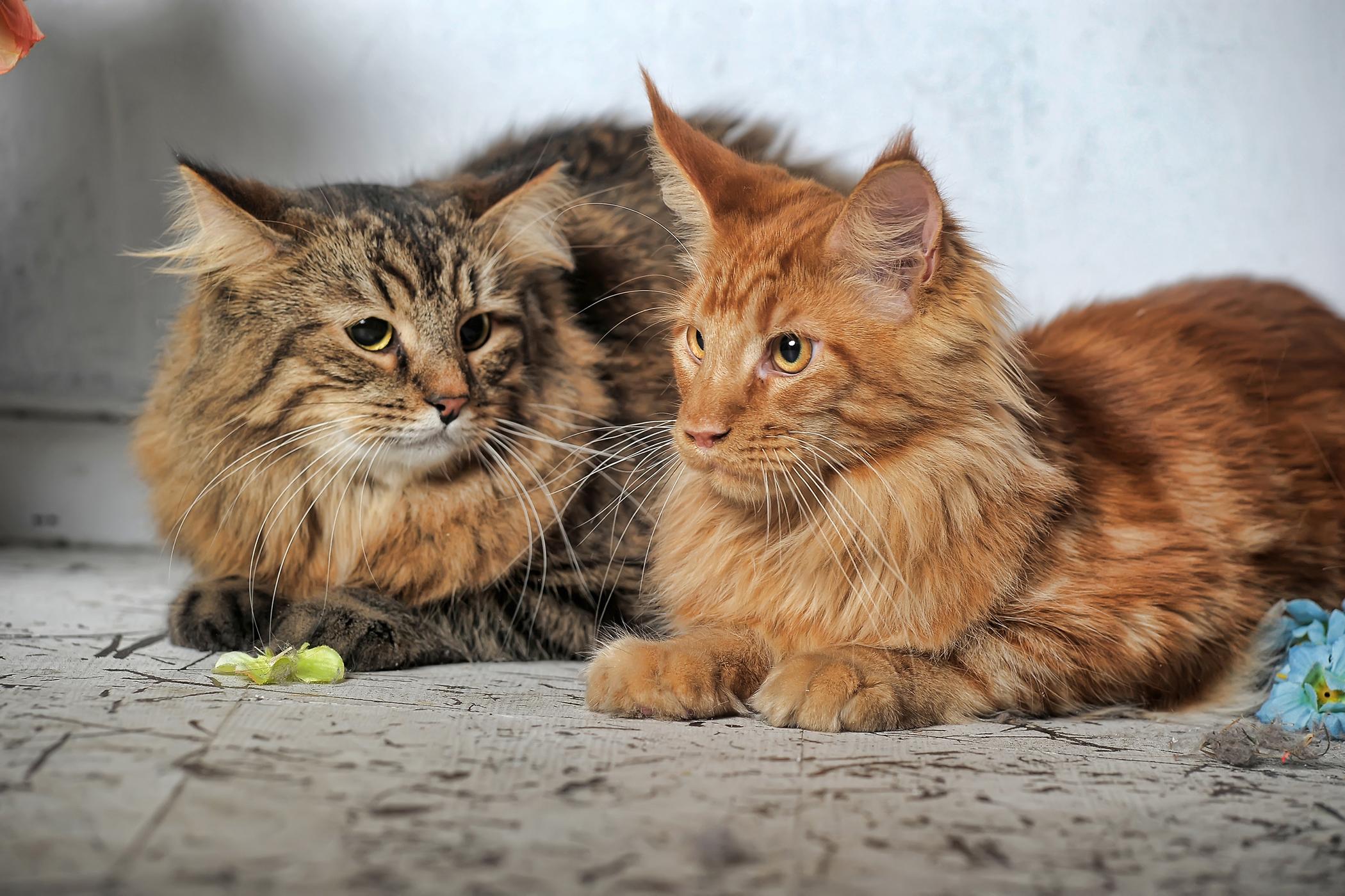 Pyometra in Cats