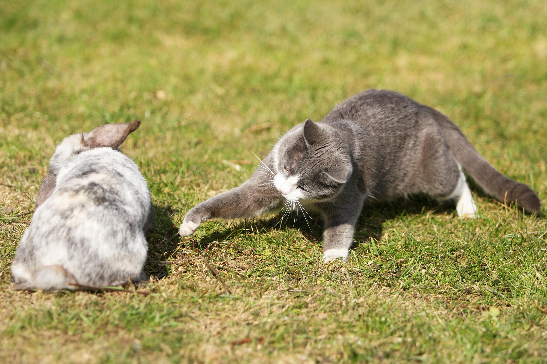 Rabbit Allergy in Cats