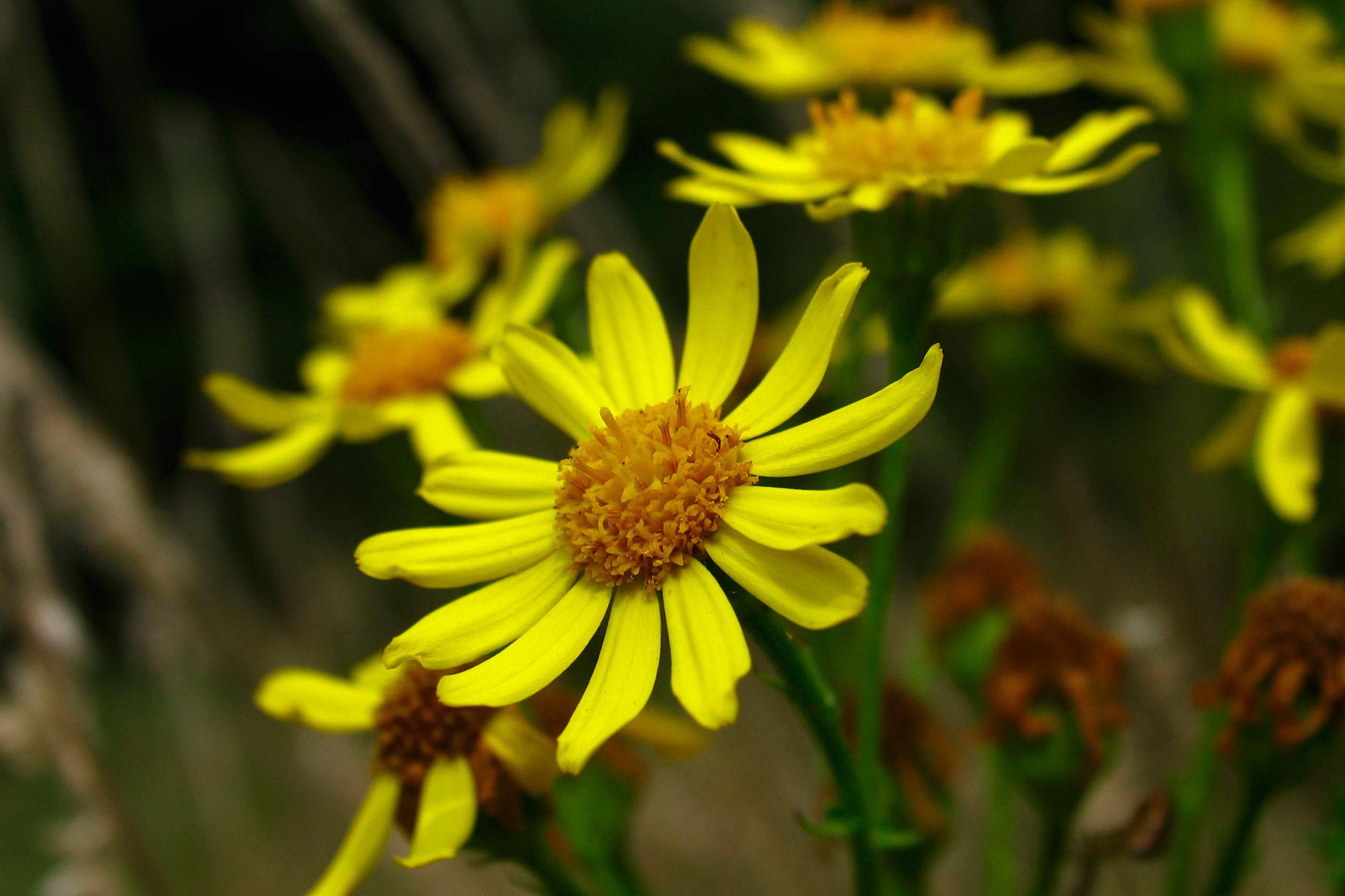 Ragwort Poisoning in Cats