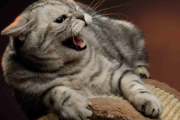 Retained Testicle in Cats