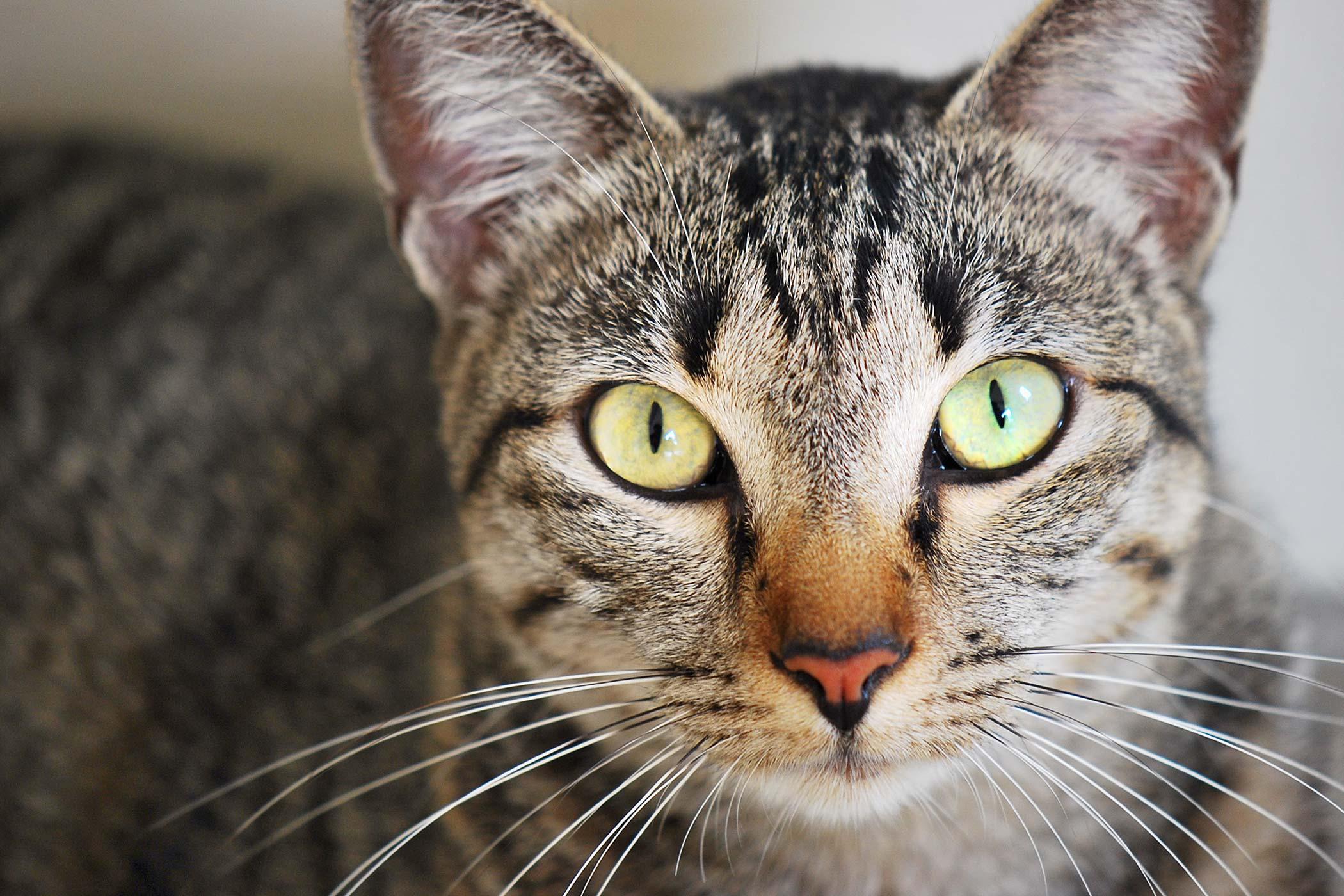 Retinal Bleeding in Cats