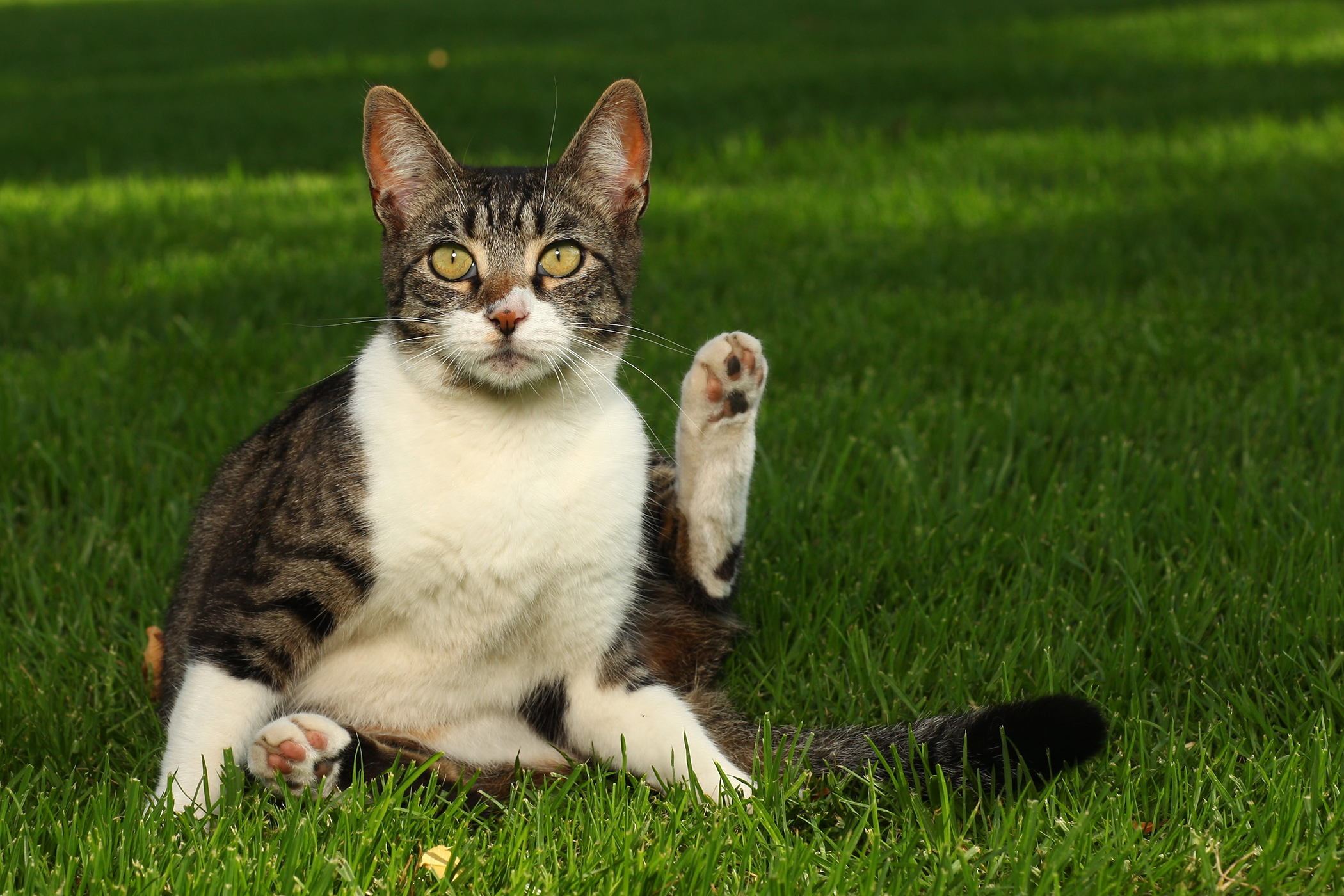Revolution Allergy in Cats