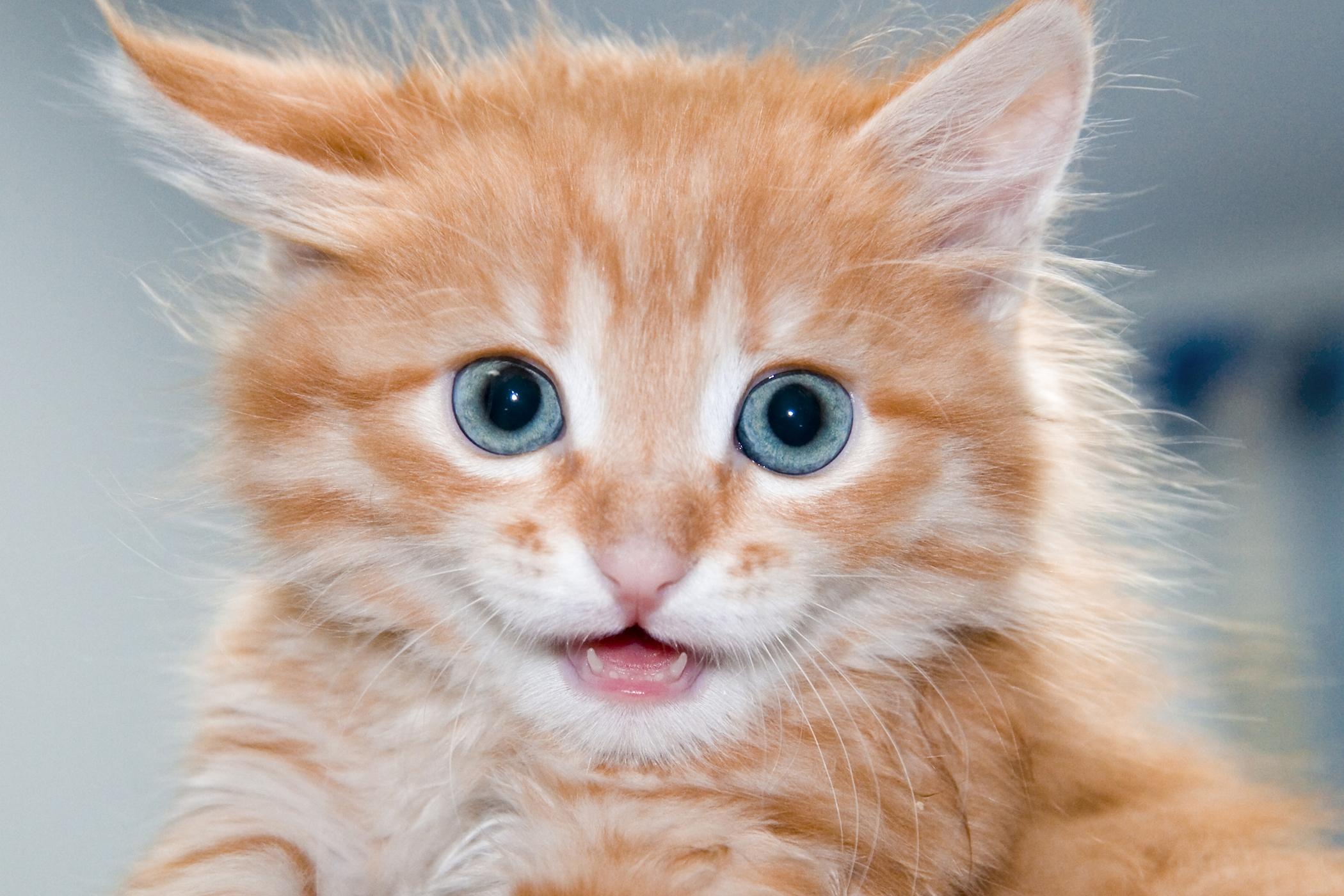 Sacrocaudal Dysgenesis in Cats