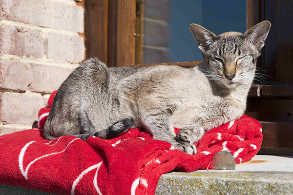 Sarcocystis Infection in Cats