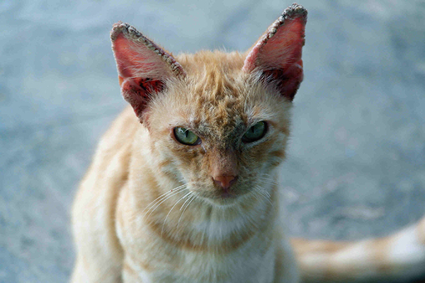 Scaly Skin in Cats