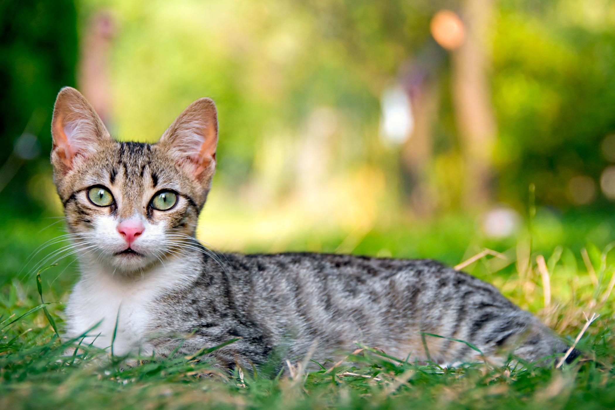 Science Diet Allergy in Cats