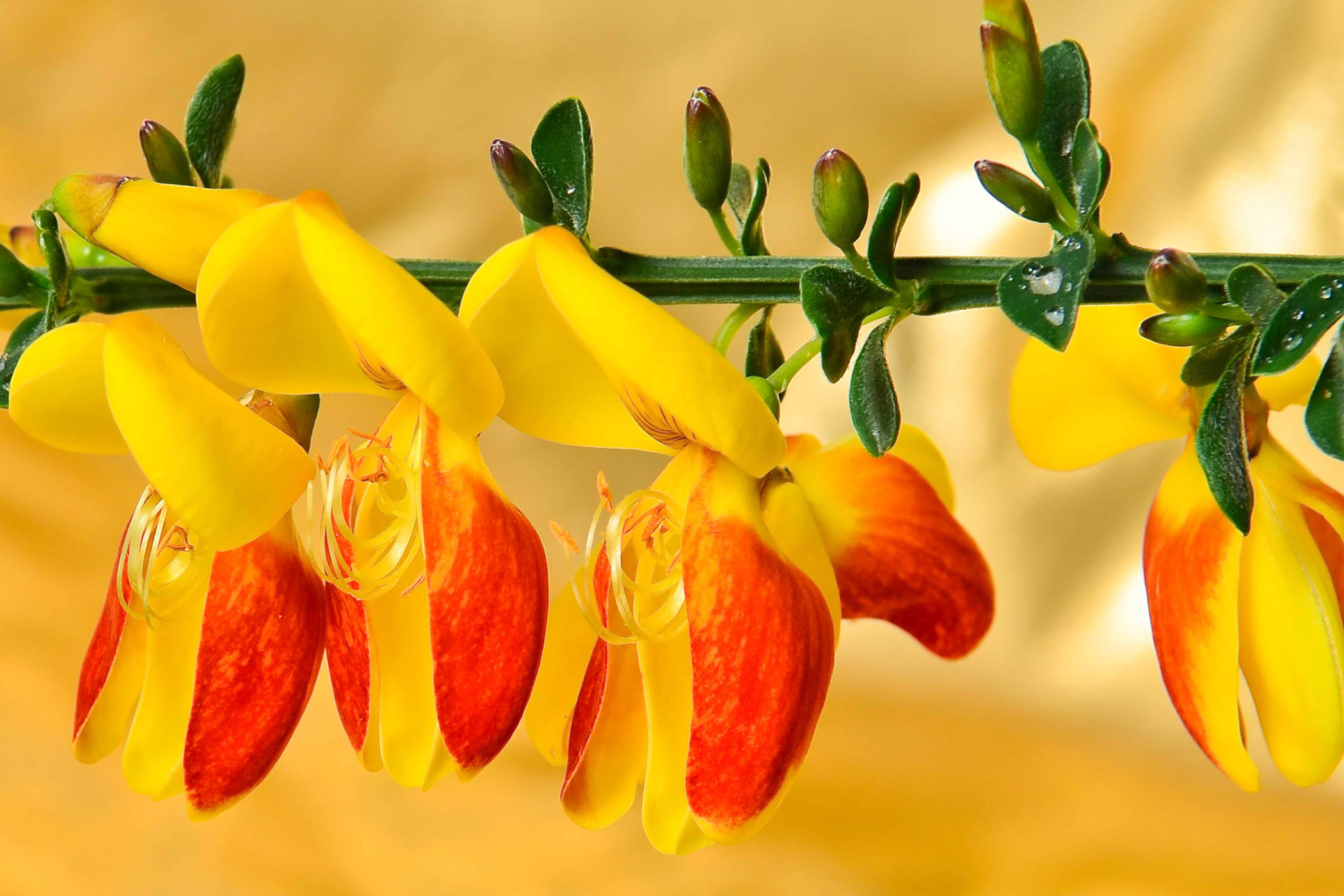 Scotch Broom Poisoning in Cats
