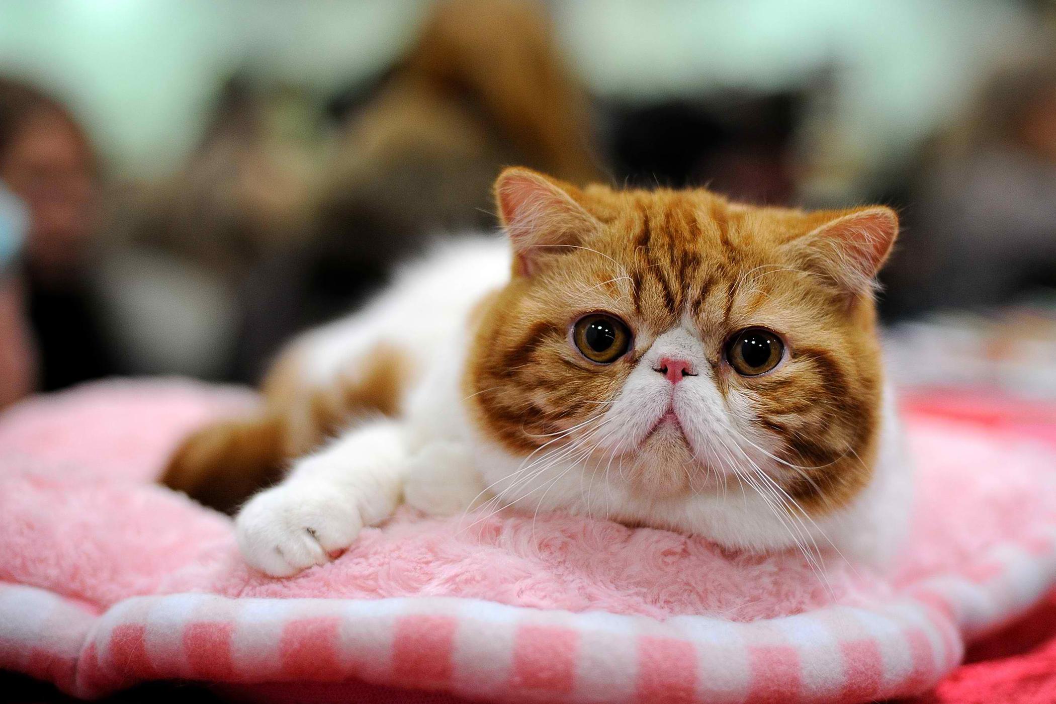 Seasonal Allergies in Cats