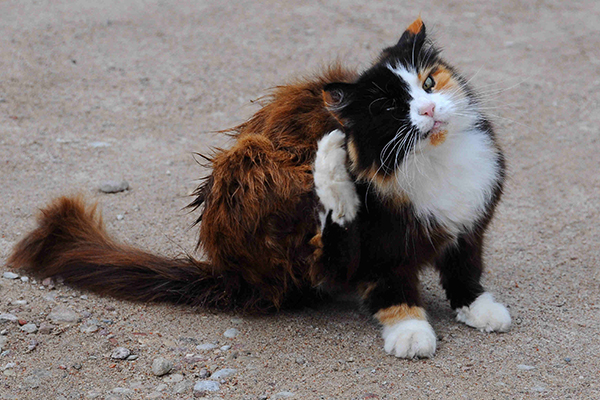 Seborrhea in Cats