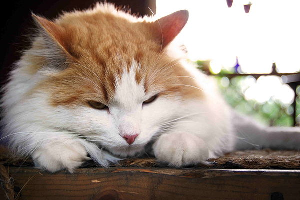Septicemia and Bacteremia in Cats