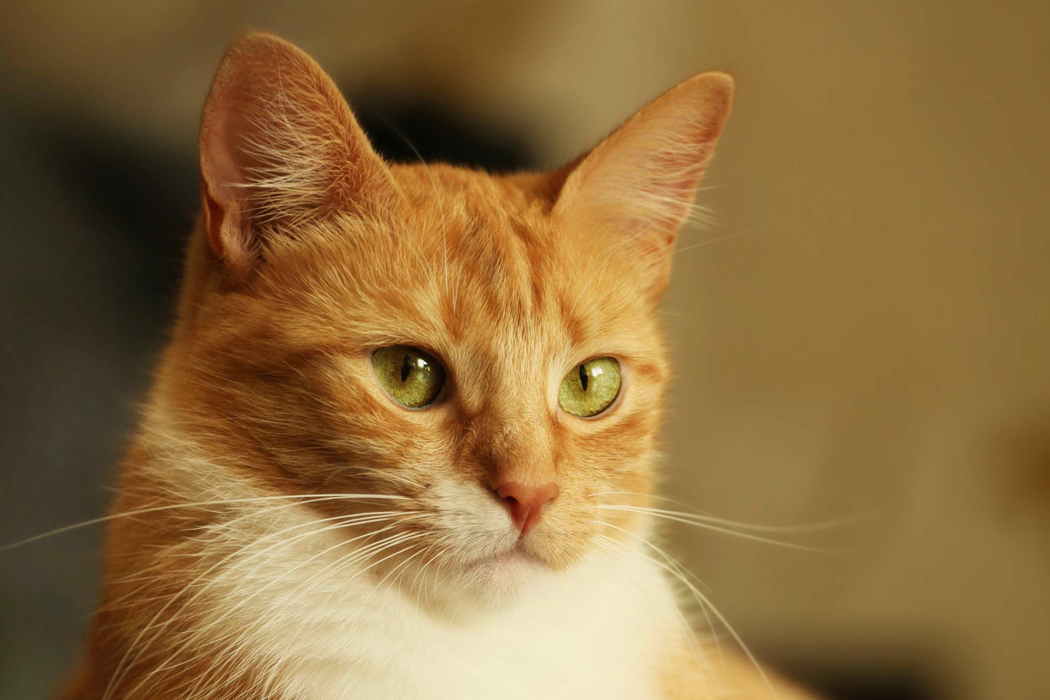 Shock Due to Heart Failure in Cats