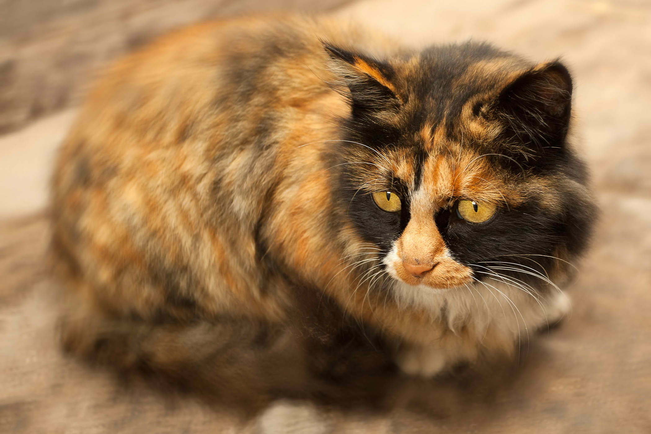 Side Effects Of Anxiety Medications in Cats