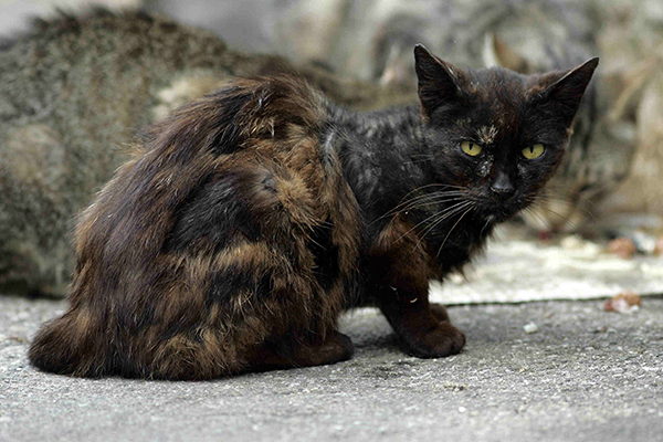 Skin Diseases from Allergies in Cats