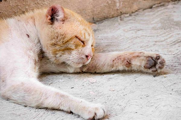 Skin Rash in Cats