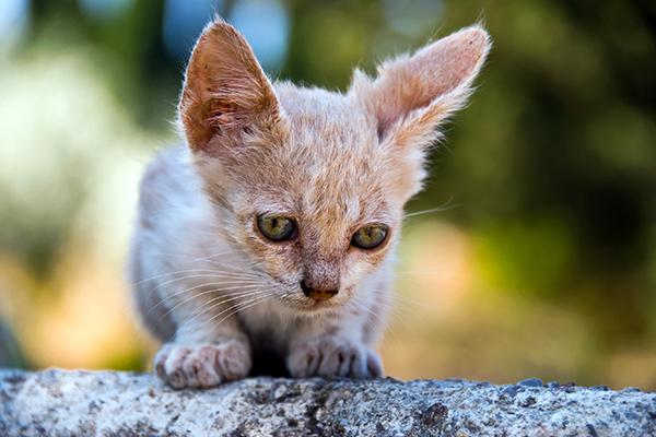 Skin Tumor in Cats