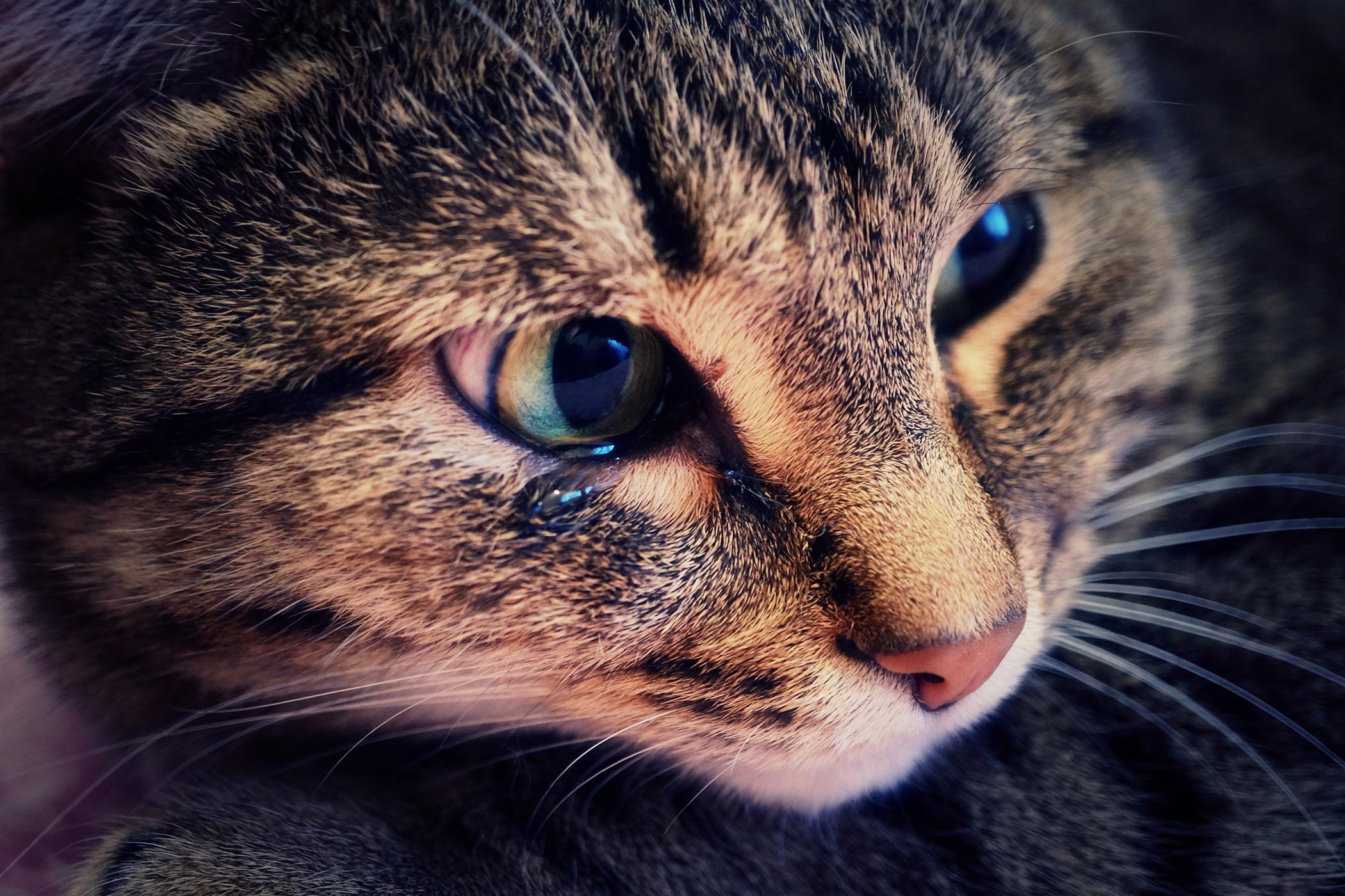 Skin Ulcers in Cats