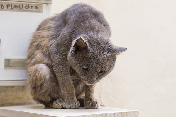 Soft Palate Disorders in Cats