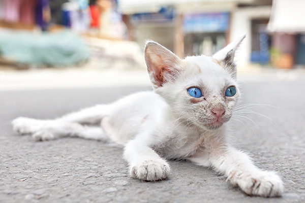 Soft Tissue Cancer in Cats