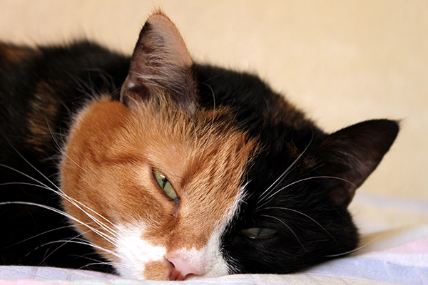 Spinal Birth Defect  in Cats