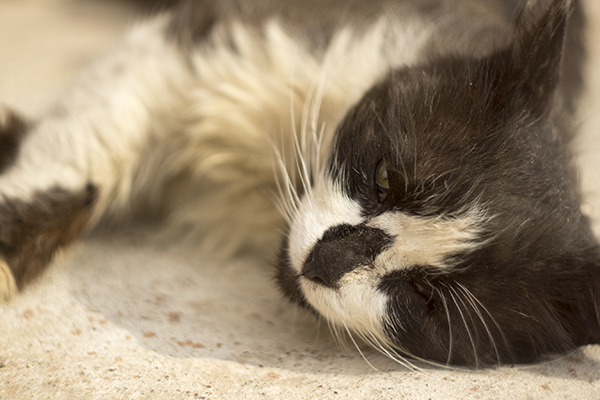 Spinal Malformation of the Neck in Cats
