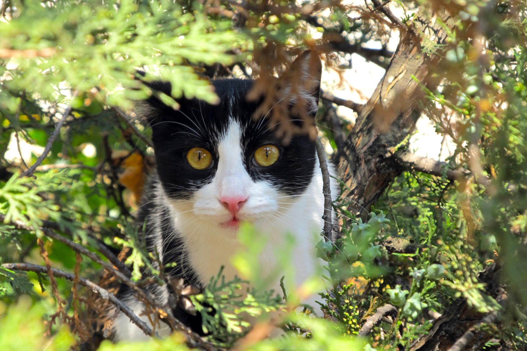 Splenic Hemorrhage in Cats