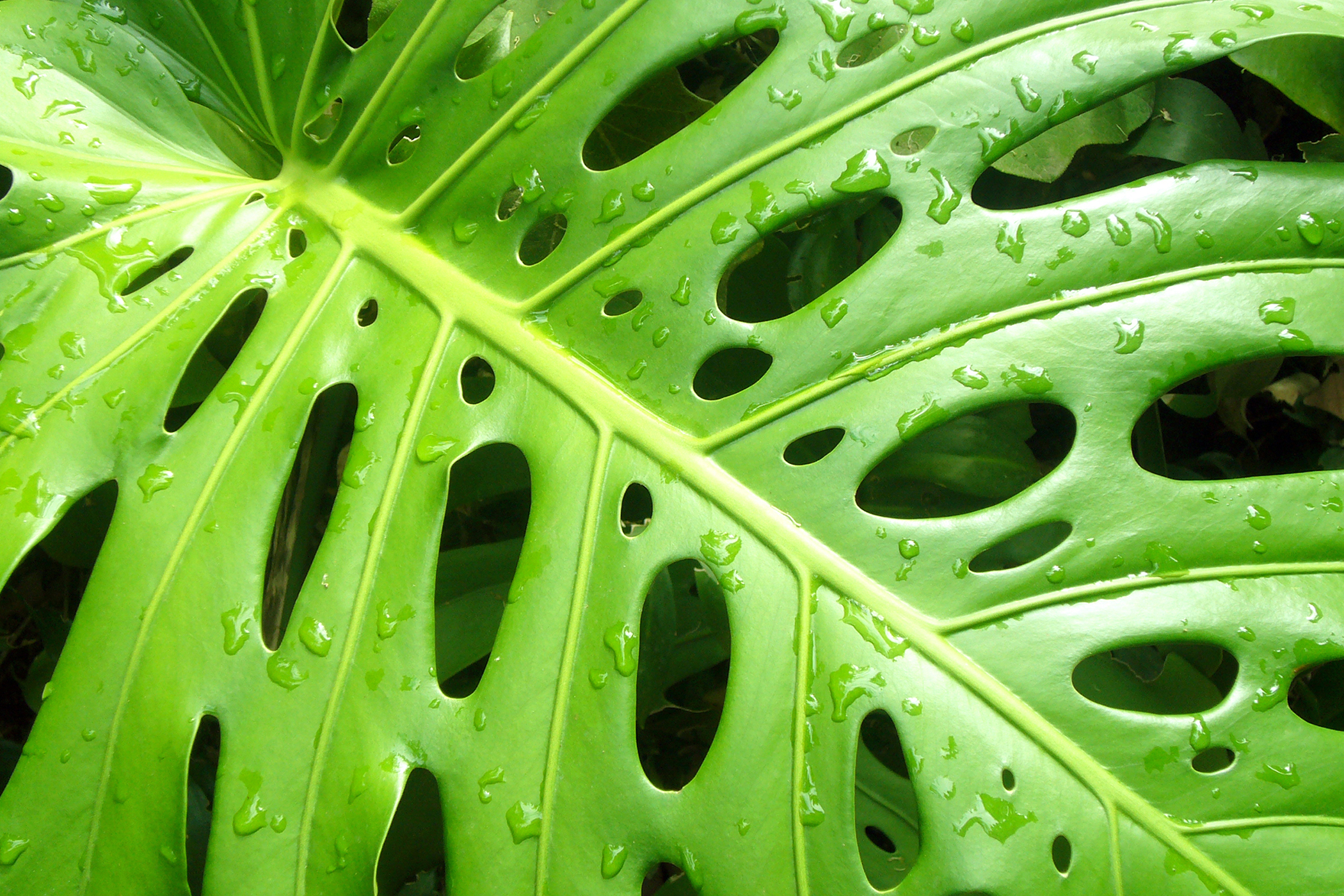 Split Leaf Philodendron Poisoning in Cats