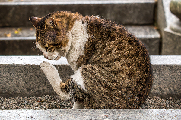 Staph Infection in Cats