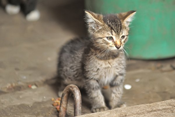 Stem Cell Disorder in Cats