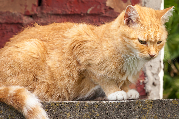 Stomach and Intestinal Ulcers in Cats