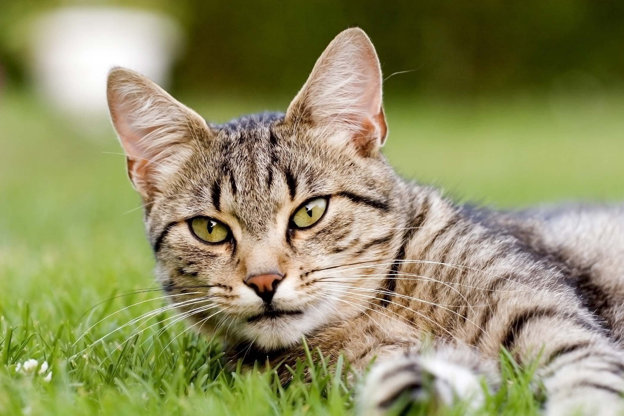 Streptococcal Infection in Cats