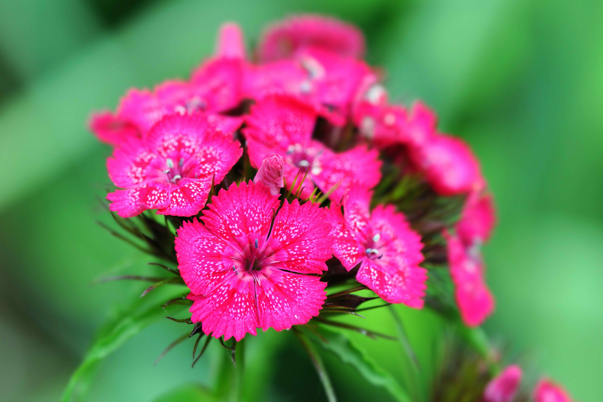 Sweet William Poisoning in Cats