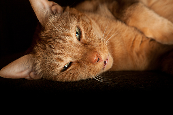 Synechiae in Cats