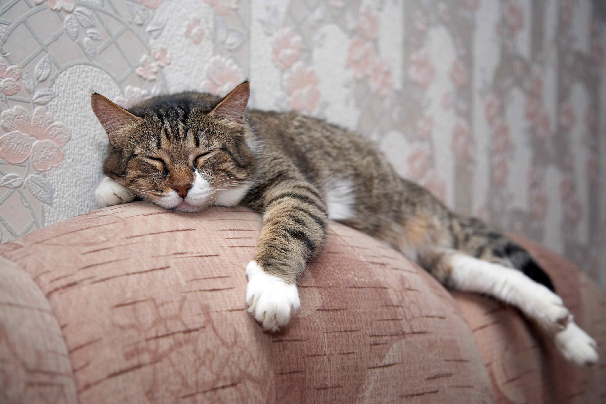 Temporomandibular Joint Disorders in Cats