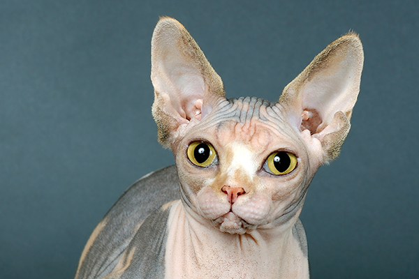 Thin or Fragile Skin in Cats