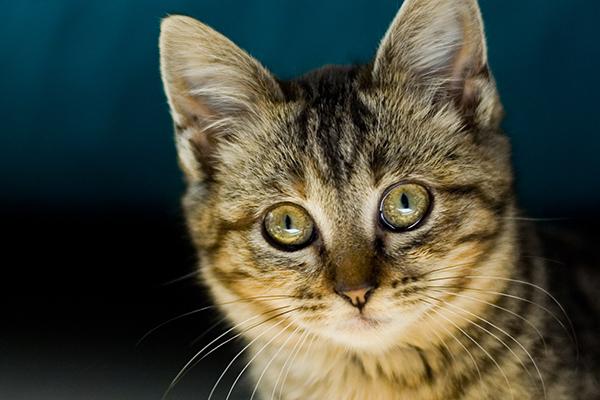 Thyroid Hormone Deficiency in Cats