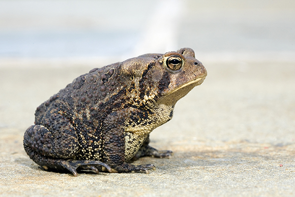 Toad Venom Toxicosis in Cats