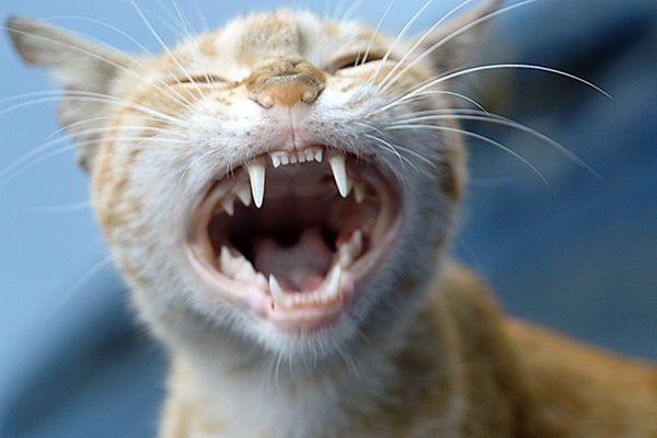Tooth Decay in Cats