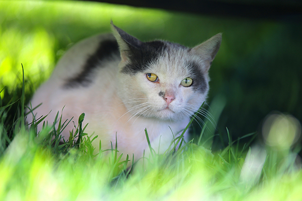 Toxoplasmosis in Cats