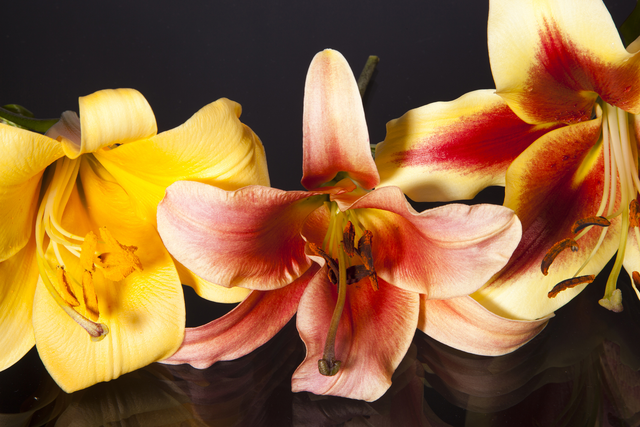 Trumpet Lily Poisoning in Cats