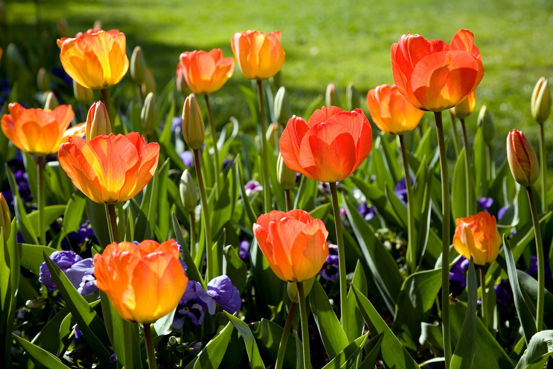 Tulip Poisoning in Cats