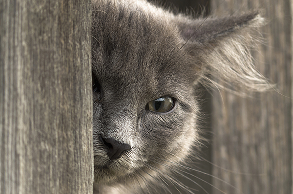 Tumor of the Eye in Cats