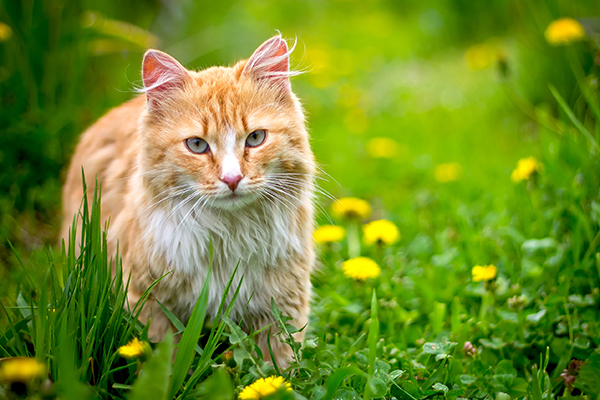 Tumors of the Endocrine Glands in Cats